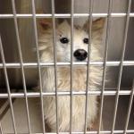 Perry - American Eskimor Mix - MAIN - Medical Animals In Need. Phoenix AZ (4)