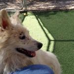 Perry - American Eskimor Mix - MAIN - Medical Animals In Need. Phoenix AZ (9)