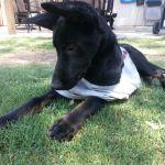 Ramona, Shepherd Mix Puppy