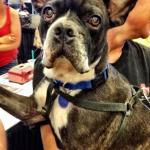 Archer, French Bulldog Mix
