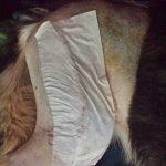 Stetson after surgery2