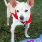 Potsie, Chihuahua mix