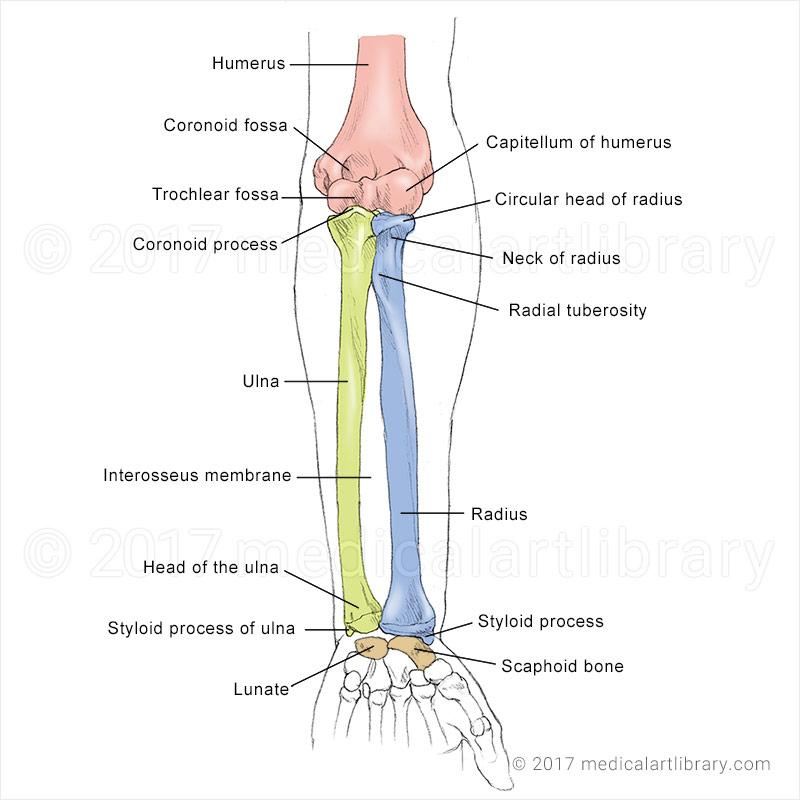 forearm bones diagram kia rio 2004 stereo wiring medical art library