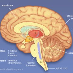 Internal Brain Diagram 2001 Jeep Cherokee Radio Wiring Anatomy Structures Medical Art Library