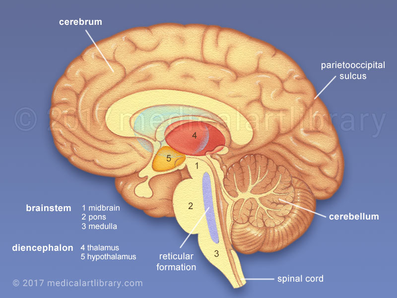 blank foot diagram 94 jeep cherokee stereo wiring brain anatomy - internal structures medical art library
