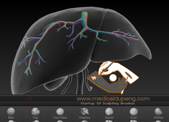 Zbrush modelling 3D liver and hepatic veins