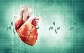 Ученые определили белок, отвечающий за ритм сердца