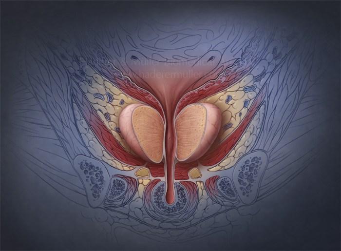 Физиология предстательной железы