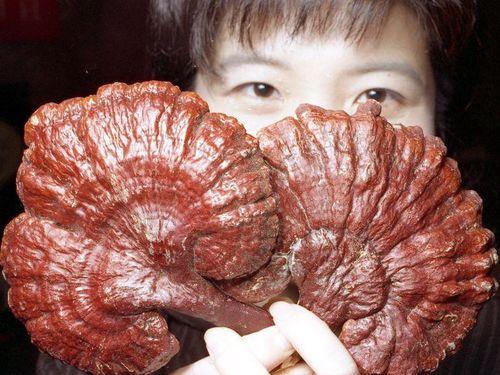 Ученые: гриб изменяет микрофлору кишечника, помогая при этом снижать вес