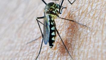 малярия, печень