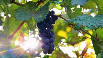 виноград, диета, The Journal of Nutritional Biochemistry