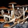 грибы, галлюцинации, депрессия, The Lancet Psychiatry