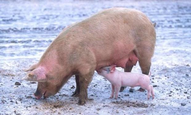 свиньи, пессимисты, оптимисты