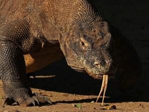 Коморский дракон, антибиотик