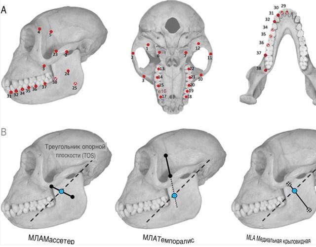 Ученые выяснили, почему у людей зубы мудрости прорезаются так поздно