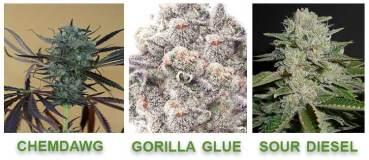 humulene cannabis strains terpene profile infograph