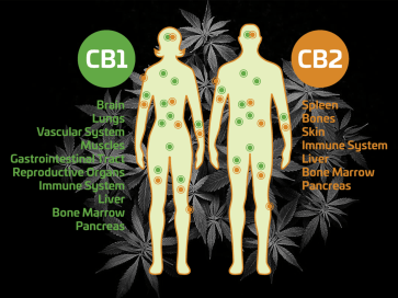 Cartoon of Endocannabinoid System with human bodies and CB1 and CB2 receptors on cannabis background