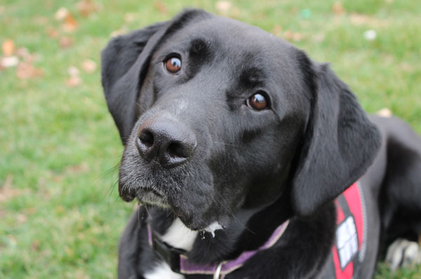 close up of rescued lab service dog with red vest