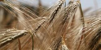 non-celiac wheat sensitivity