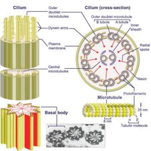 Medical Pictures Info – Cilium