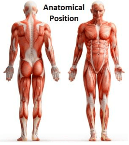 Anatomical Positions