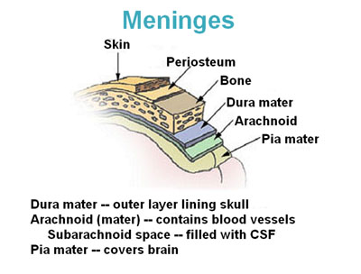 Image result for meninges anatomy
