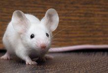 Photo of حيوانات التجارب في المراكز البحثية والمختبرات