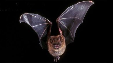 Photo of فيروسات الخفافيش