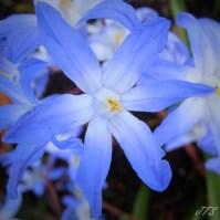 Bluepetals