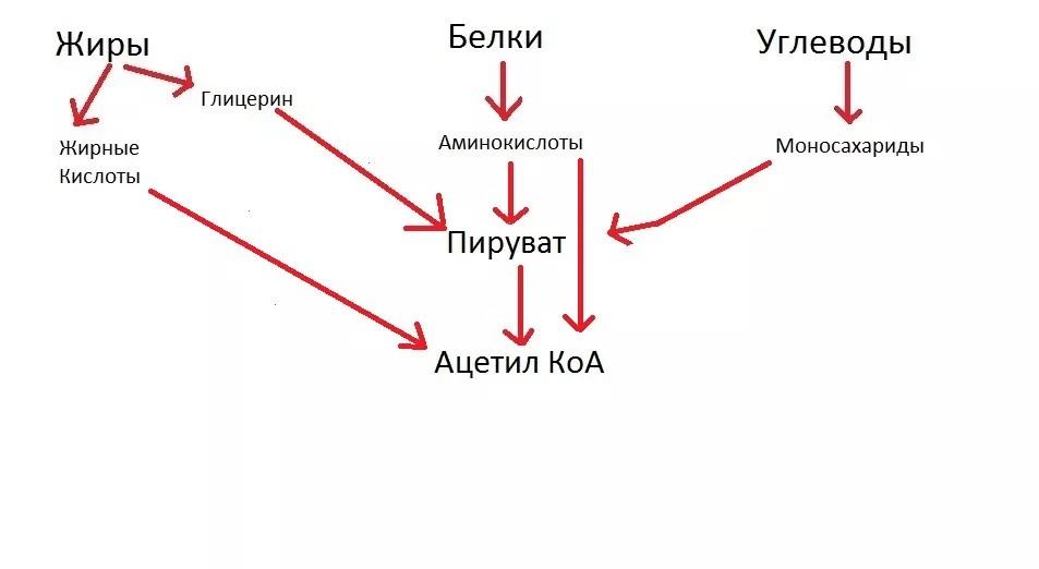 какого роль ферментативного конвейера цикла кребса