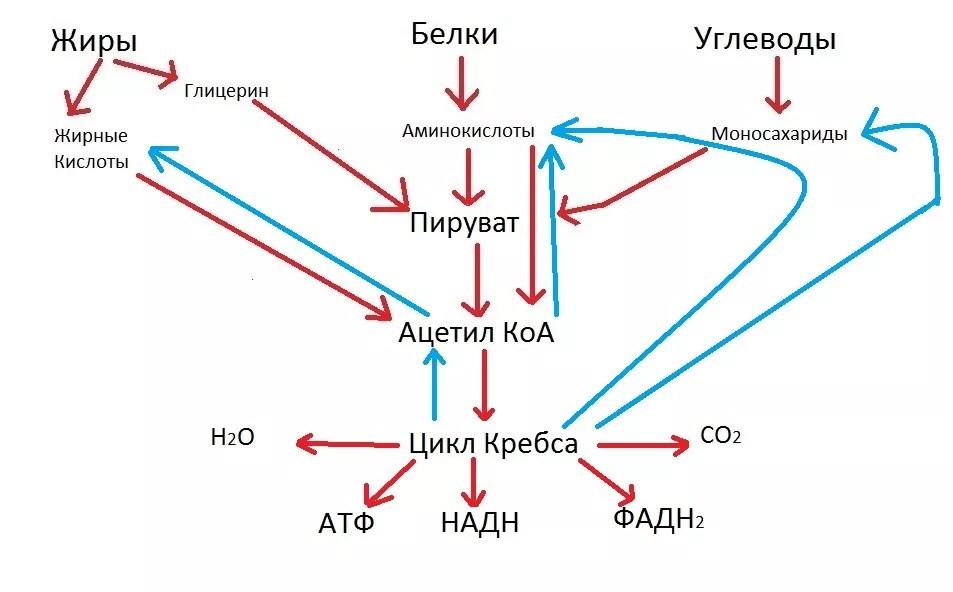 ферментативного конвейера цикла кребса