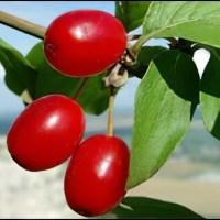 Кизил - полезные свойства и применение в медицине