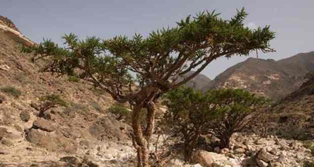Ладанное дерево - состав, свойства и применение в медицине