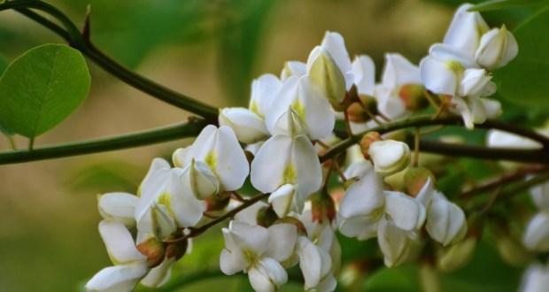 Акация белая - свойства и применение в народной медицине