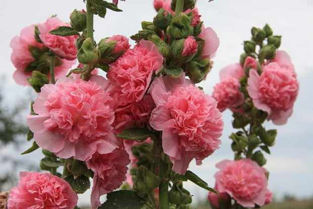 шток-роза