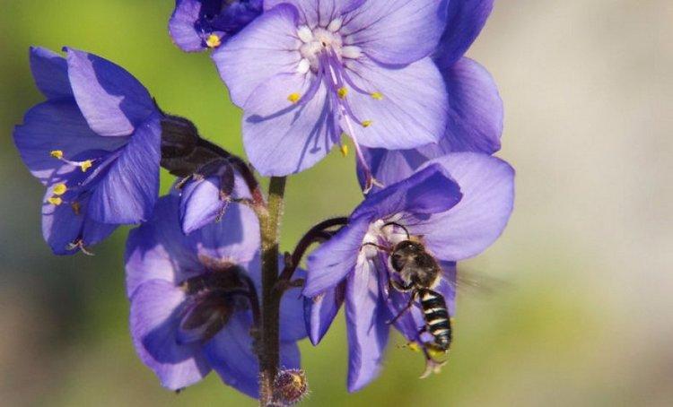 Синюха голубая - лечебные свойства и применение. Рецепты