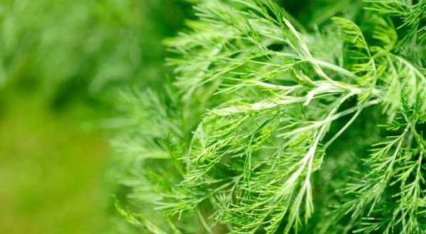 Божье дерево - лечебные свойства, рецепты и применение