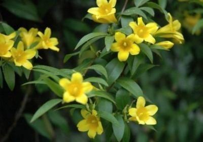 Желтый жасмин - полезные свойства и применение
