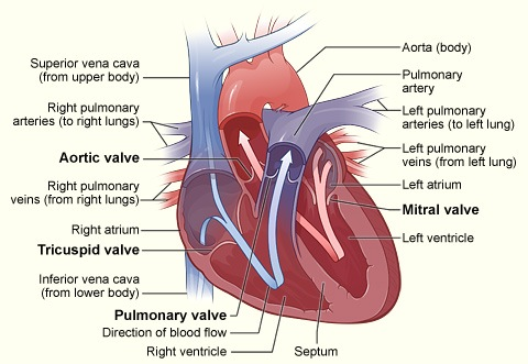 where are your lungs located in back diagram ford f 350 front suspension heart valve disease | cardiac surgery michigan medicine university of