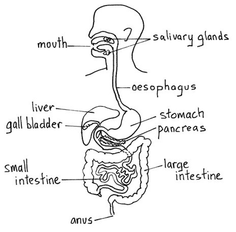 Human Intestinal Tract Diagram Biology And Chemistry In