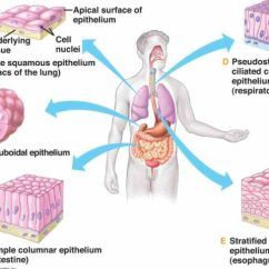 Kidney Location In Humans Diagram Bmw Mini R50 Wiring Epithelial Tissues Human Body Tissue Is Classified By Cell Shape And The Number Of Layers It ...