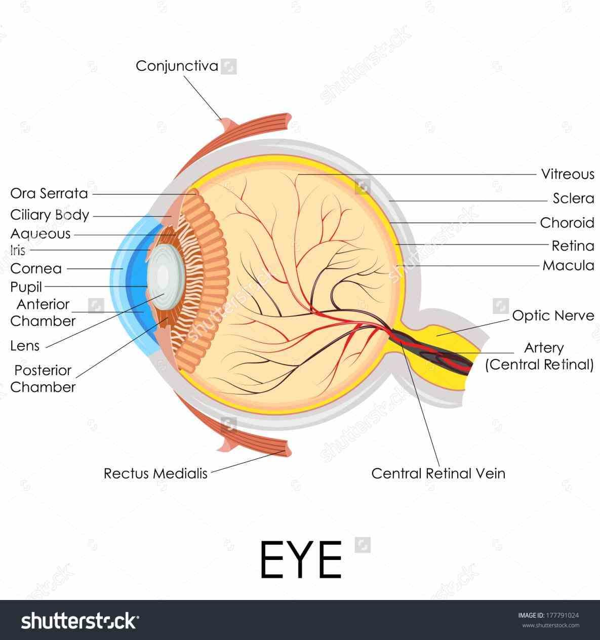 human eye parts diagram cat6 wiring 568a of the medicinebtg