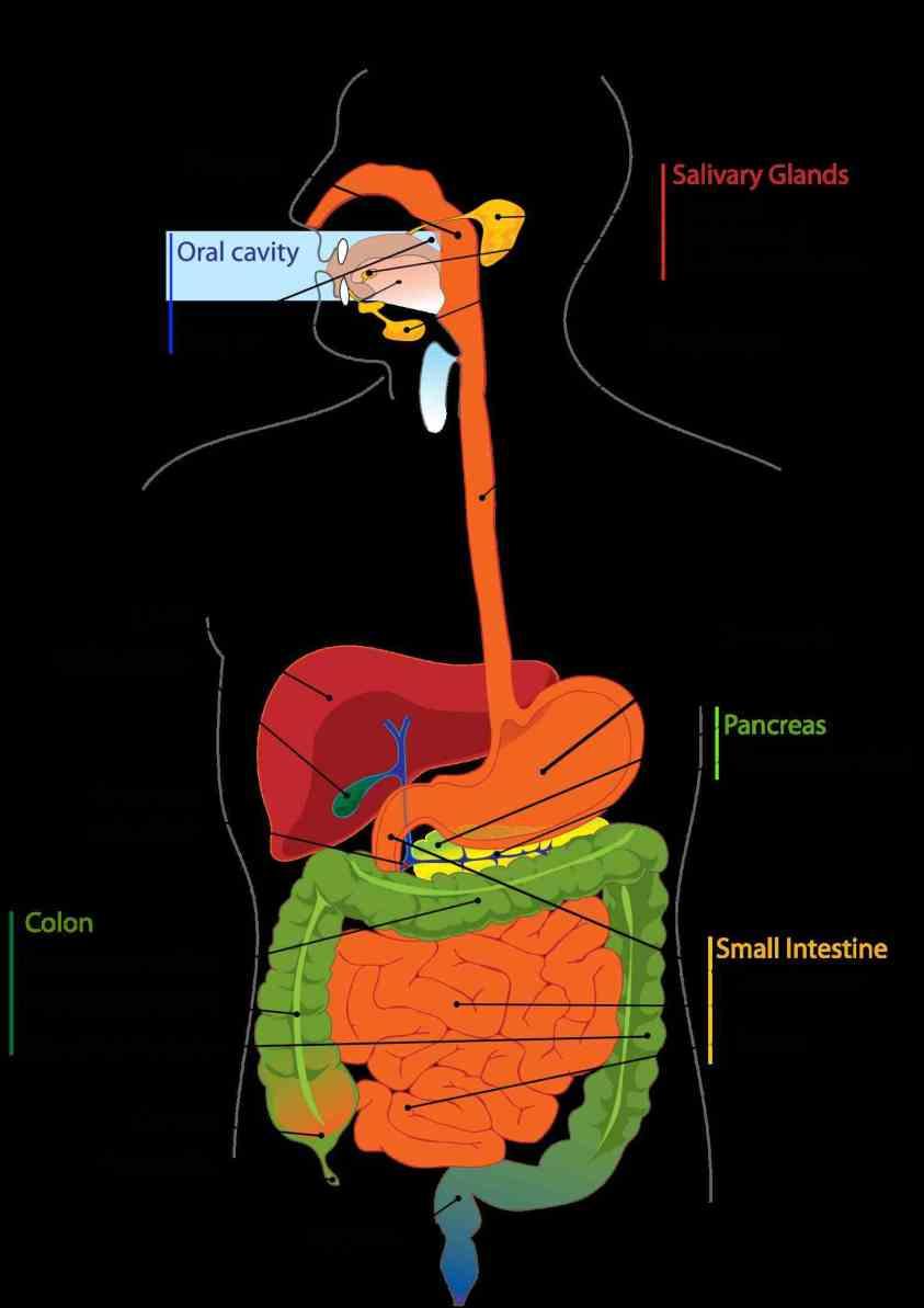 Images Of Digestive System Of Human Body | MedicineBTG.com