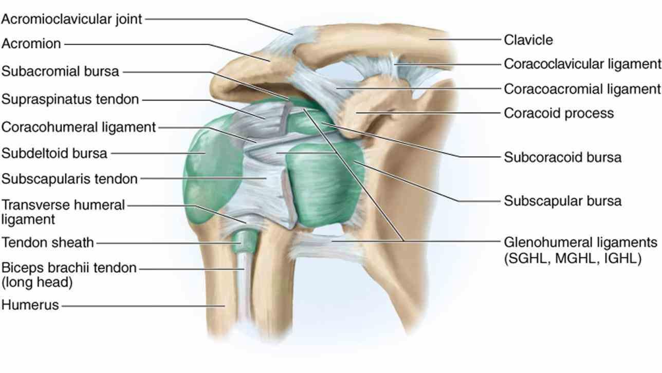 Surface Anatomy Shoulder