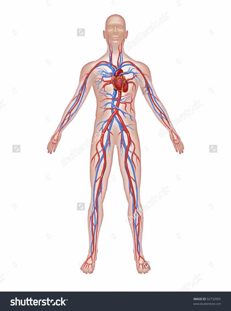 human vascular anatomy diagram swift wiring heart system of body pictures wallpapers