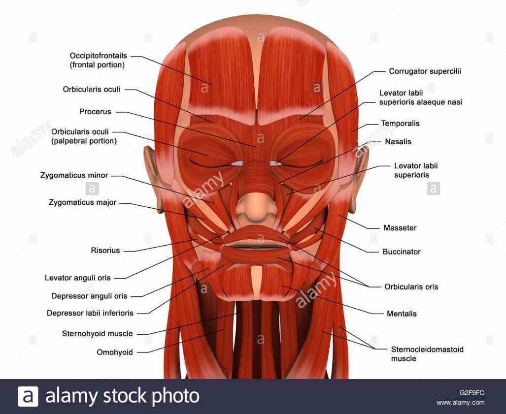 Labeling Facial Muscles