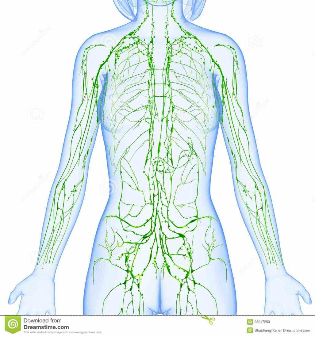 diagram location lymph nodes 120 240 volt motor wiring female lymphatic system anatomy pictures wallpapers