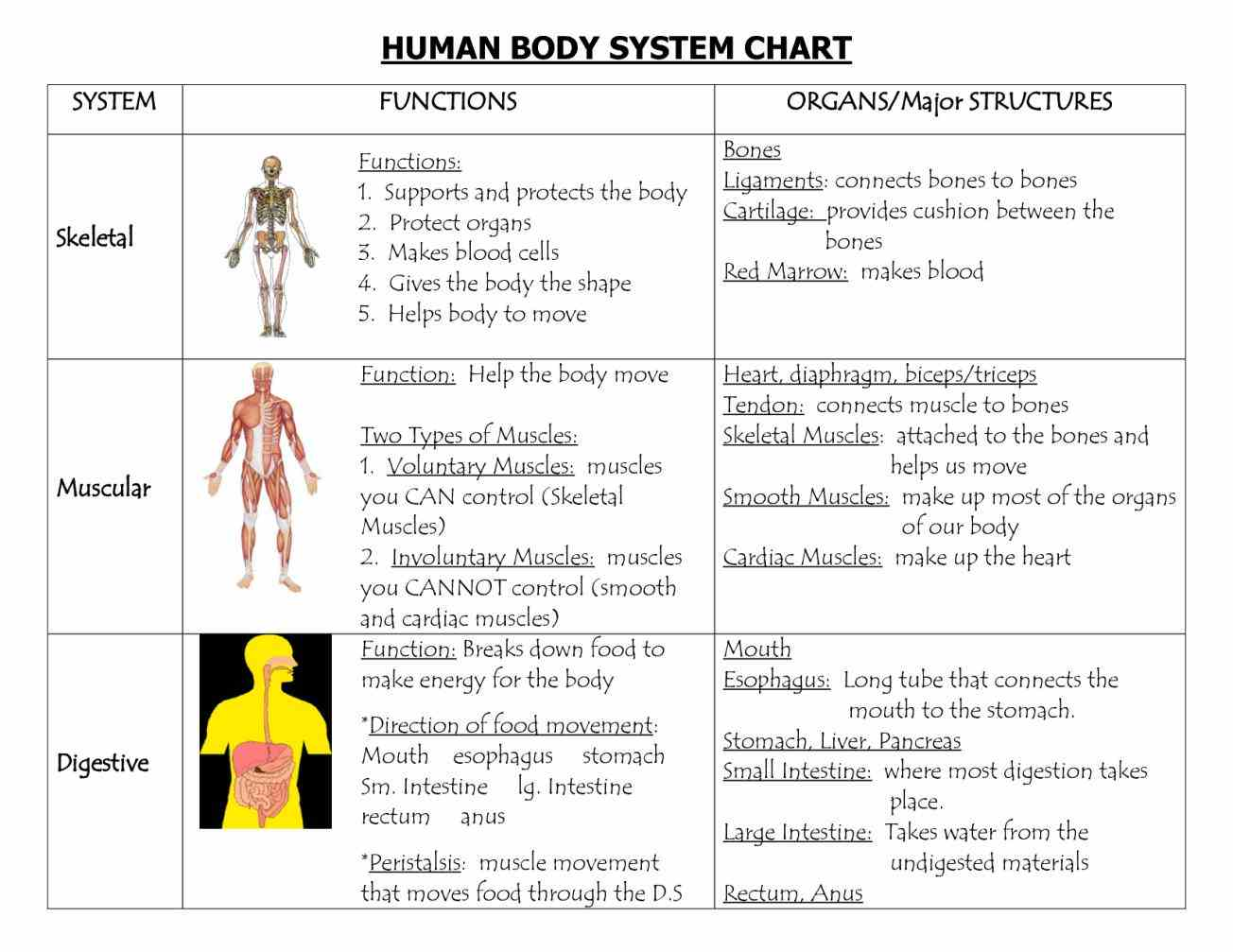 Cells Of Human Body And Their Functions