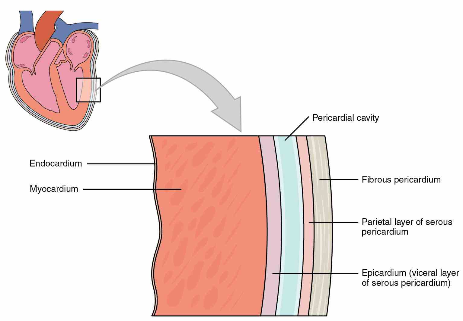 Anatomy The Three Layers Of The Heart