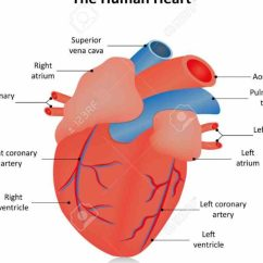 Heart Beat Diagram Of Human Cartoon Loading